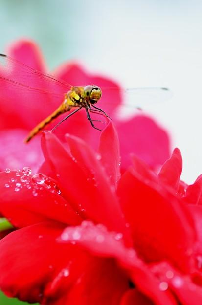薔薇トンボ~雨上がり