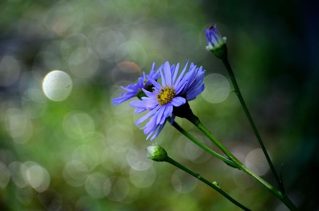 Photos: シオンの花