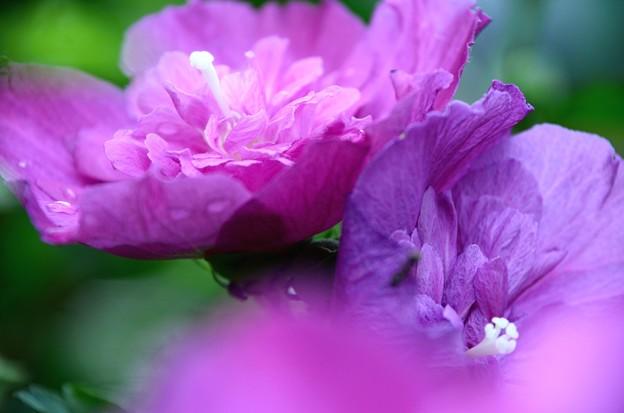 Photos: 八重むくげ咲きました