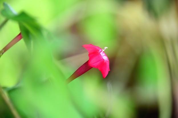 Photos: 小さいルコウソウ咲きました