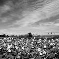 Photos: ひまわり畑~夏の日に