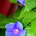 Photos: アサガオ~ひっそりと咲く