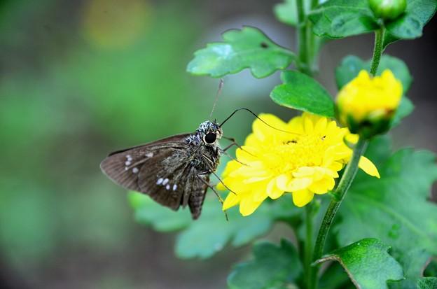 菊セセリ蝶