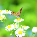 Photos: ベニシジミ蝶