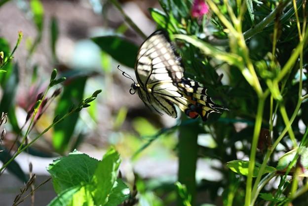 アゲハ蝶~飛ぶ