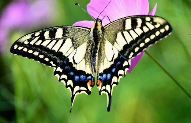 綺麗なアゲハ蝶