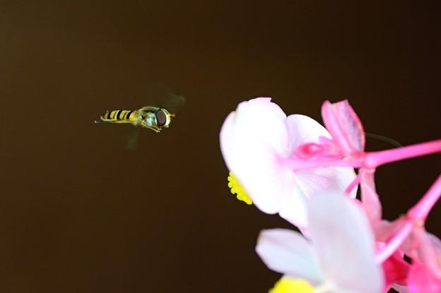 Photos: ハナアブ飛行