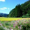 Photos: 秋桜と稲