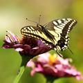 今年最後のアゲハ蝶