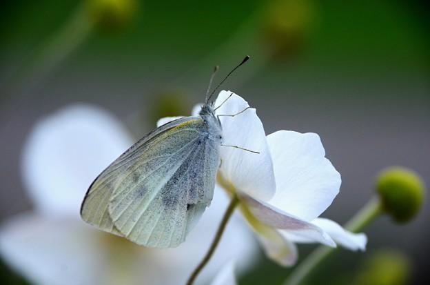 モンシロ蝶~シュウメイギク