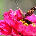 アカタテハ蝶