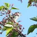 Photos: 葉桜にウグイス(4/10)
