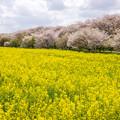 Photos: 権現堂堤の桜