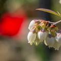 Photos: ブルーベリーの花