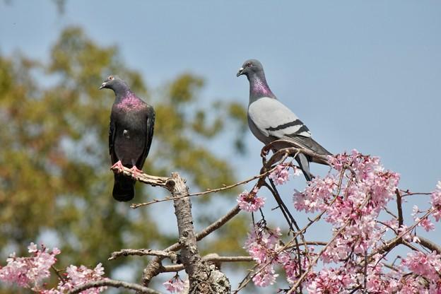 人は桜、鳩は何を?