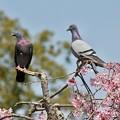Photos: 人は桜、鳩は何を?