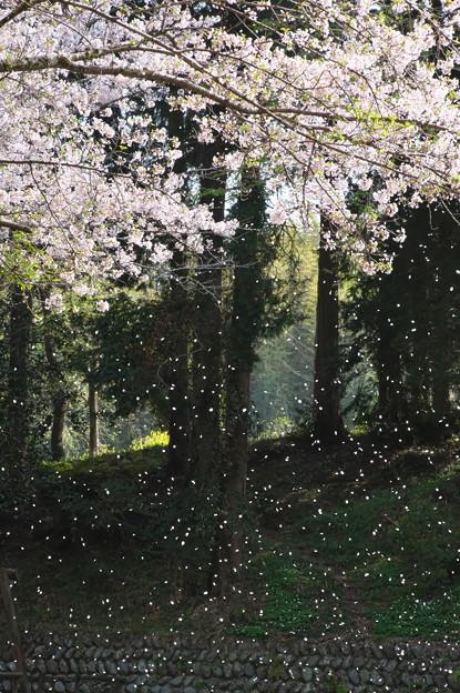散り急ぐ桜花