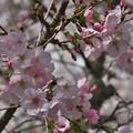 Photos: 咲始める桜花