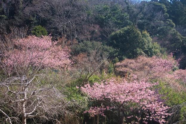 Photos: 桜~久木大池