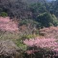 桜~久木大池