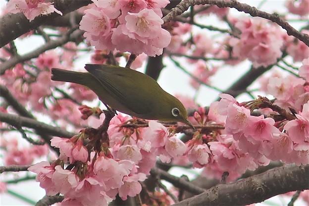 Photos: メジロ~龍華寺