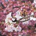 玉縄桜~大町