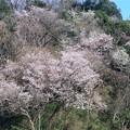 Photos: 逗子市久木の山桜