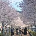 Photos: 桜~鎌倉