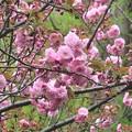 八重桜~御殿山