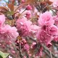 八重桜~披露山公園