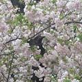 白八重桜~御殿山