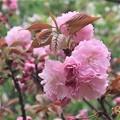 披露山の八重桜