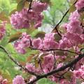 八重桜~日比谷公園