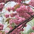 日比谷公園の八重桜