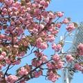 八重桜~横浜公園