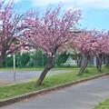 八重桜~第一運動公園