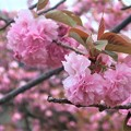 第一公園の八重桜