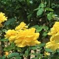 黄色の薔薇