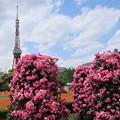 芝公園の薔薇