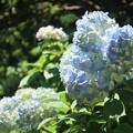 Photos: 披露山の紫陽花