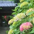 Photos: 紫陽花 岩殿寺 逗子