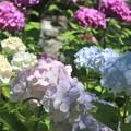 紫陽花~妙本寺