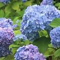 西洋紫陽花~芝公園