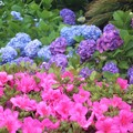 躑躅と紫陽花