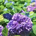 紫陽花~水神公園