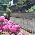 江ノ電 紫陽花