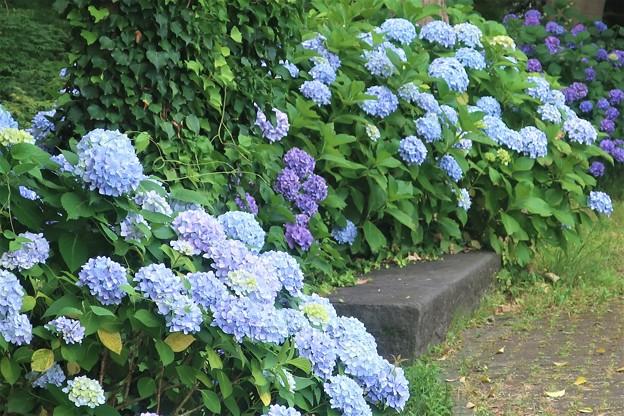 紫陽花~日比谷公園