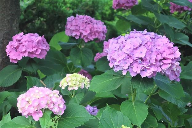紫陽花~逗子第一公園