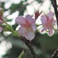 河津桜~披露山