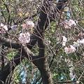 10月桜~上野公園